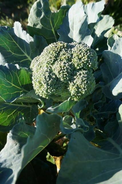 Brokkolinuggets mit Brokkoli aus dem Saisongarten von breifreibaby
