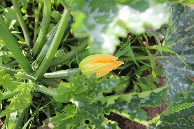 Einsteiger Gemüse baby-led weaning Zucchini