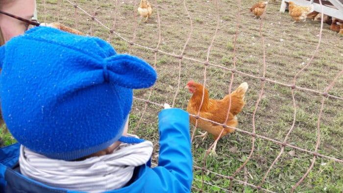 Auf dem Hofgut Oberfeld - Hühner anschauen
