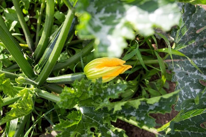So gut wachsen Zucchinis im Saisongarten, wenn man sie regelmäßig gießt
