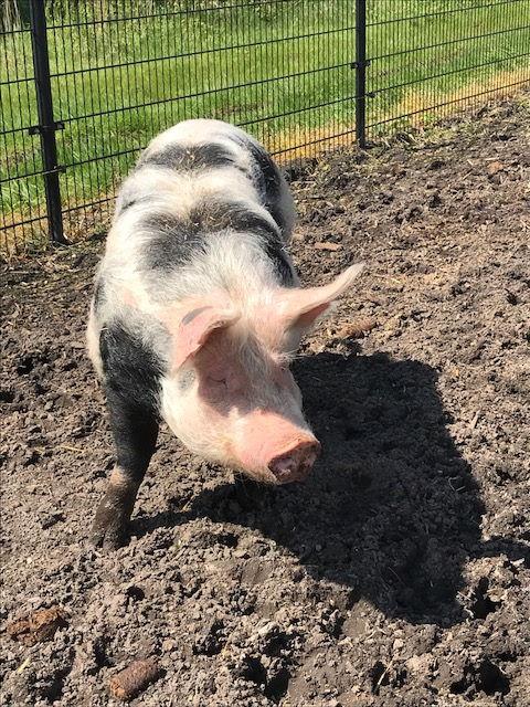 Schwein im Matsch